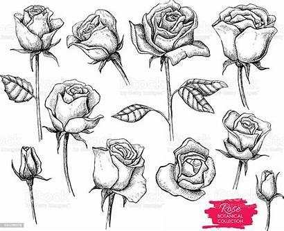 Rose Botanical Vector Drawn Hand Bud Tattoo