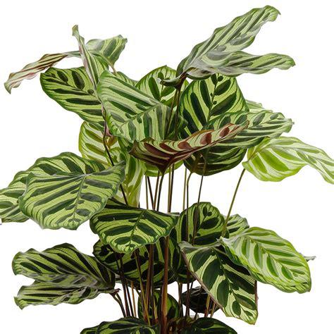 Calla Pflanzen Pflege by Calla Pflanze Pflege Awesome Beim Umtopfen Handschuhe