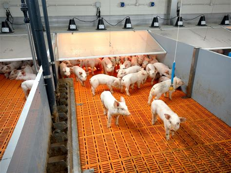 heat ls for pigs farming habits to keep your pigs healthy