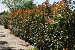 Photinia Red Robin : photinia red robin hedging plants buy online from mill ~ Michelbontemps.com Haus und Dekorationen