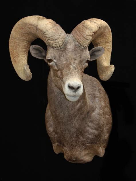 mogollon taxidermy  desert sheep