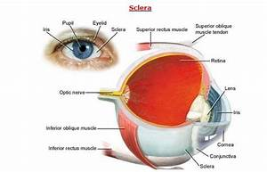 Human Eye Diagram And Anatomy Complete With Images