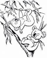 Koala Coloring Bear Realistic Drzewie Misie Sheets Animal Colouring Animals Australian Printable Getdrawings Templates Bears Safari Fun Kolorowanka Craft Applique sketch template