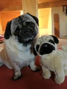 Toy Pug Puppies