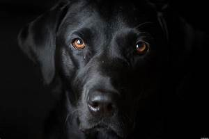 Black Dogs Sent To B.C. For Better Chance Of Adoption