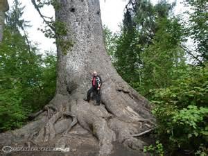 Largest Sitka Spruce Washington