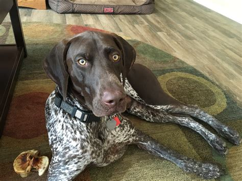 Teaching a High Energy German Shorthair Pointer Control to