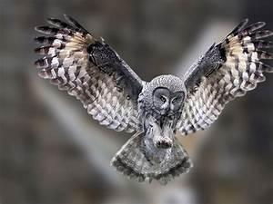 Owl Flying Wallpaper - WallpaperSafari