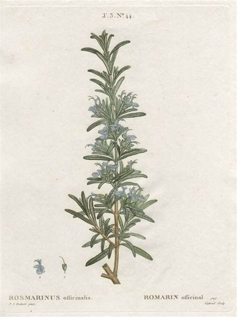 Rosemary Herb Diagram by Botanical Print Of Rosemary Garden Therapy