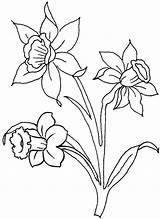 Daffodil Coloring Daffodils Colouring Cartoon Sheet Bulbs Coloringfolder Flower sketch template