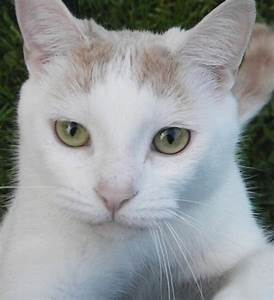 White Cat~Amber Eyes~cl | Cats | Pinterest