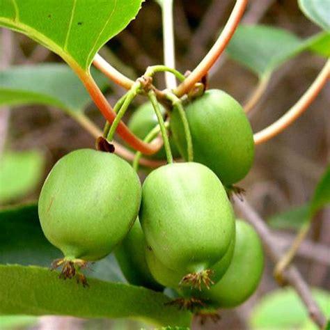 Mini Bäume Winterhart by Mini Kiwi Quot Issai Quot Actinidia Arguta Selbstfruchtend