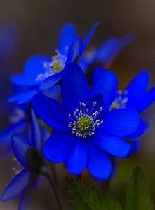 Intense Blue flower || #blue #colour #inspiration #petals ...  Blue