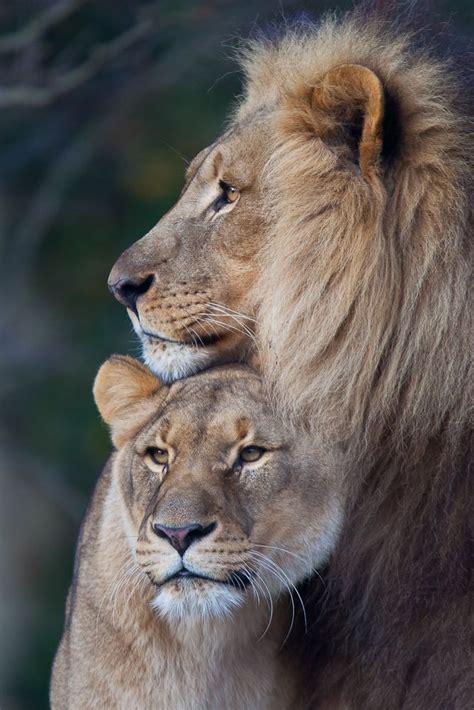lion ideas  pinterest lion drawing lion