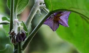 Paprika Pflanzen Abstand : auberginen anbauen ertragreicher mediterraner gem seklassiker ~ Whattoseeinmadrid.com Haus und Dekorationen