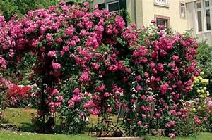 Rosier Grimpant Remontant : rosier sans pine d finition et exemples roses guillot ~ Melissatoandfro.com Idées de Décoration