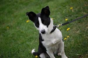 Border Jack (Border Collie-Jack Russell Mix) Info, Puppies ...