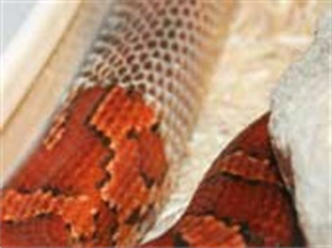 Corn Snake Shedding Time by The Corn Snake Co Uk Corn Snake Care Sheet Information