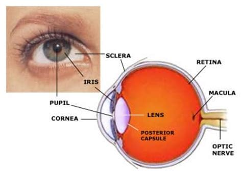 human eye parts diseases accommodation