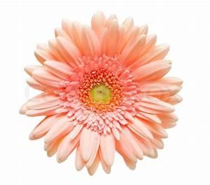 Blumen Trocknen Ohne Farbverlust : gerber blume auf wei em hintergrund stockfoto colourbox ~ A.2002-acura-tl-radio.info Haus und Dekorationen