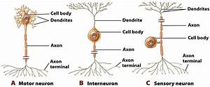Neuron clipart sensory neuron