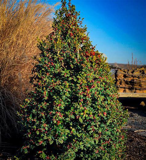 christmas jewel holly  tree center