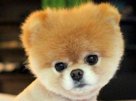 Warum finden wir hunde süss? Boo: Der Facebook-Star gilt als süßester Hund der Welt