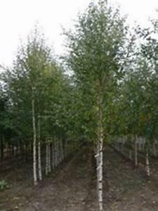 Pflanzen Als Raumteiler : betula pendula 39 zwitsers glorie 39 wei birke 39 zwitsers glorie 39 g nstig bestellen birke betula ~ Sanjose-hotels-ca.com Haus und Dekorationen
