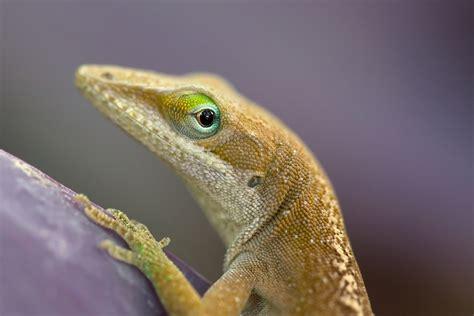 pet lizard pet lizards related keywords pet lizards long tail keywords keywordsking