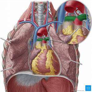Pulmonary Arteries And Veins  Anatomy And Function