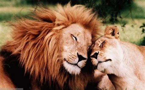 lion  lioness tumblr permanent portable artwork