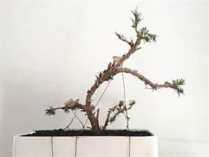 Bonsai Arten Für Anfänger : mein kleiner zuckerhut bonsai forum de ~ Sanjose-hotels-ca.com Haus und Dekorationen