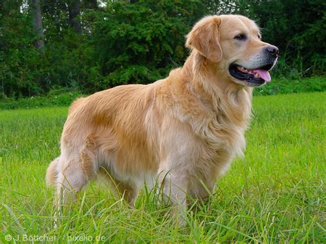 golden retriever pictures  informations dog breedscom