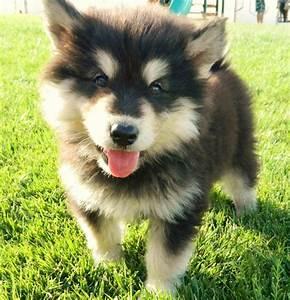 Pomsky. Pomeranian husky mix | ᔕ'ᑕᑌTEEEE | Pinterest ...