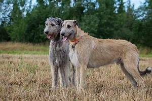Irish Wolfhound Dog Breed » Information, Pictures, & More