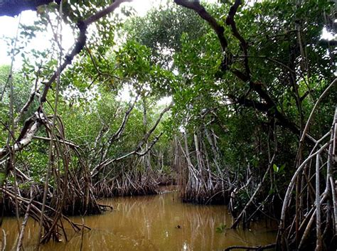red mangrove big cypress national preserve