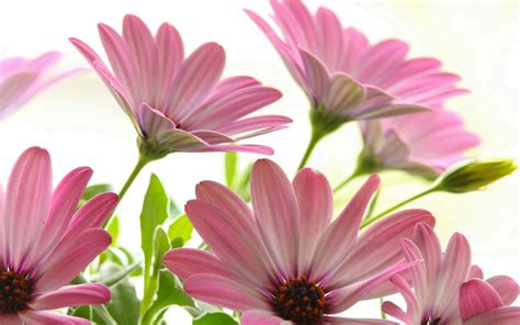 Maybe you would like to learn more about one of these? Pink Daisies Beautiful Flowers Desktop Backgrounds For ...