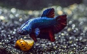 Optimale Aquarium Temperatur : ideal water temperature for betta fish the aquarium club ~ Yasmunasinghe.com Haus und Dekorationen