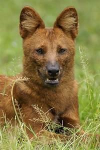Dhole | Animals of India #18 : Dhole - Indian Wild Dog ...