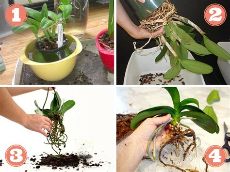 rempoter une orchidee techniques  conseils