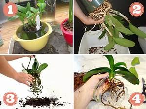 Comment Soigner Une Orchidée : rempoter une orchid e techniques et conseils ~ Farleysfitness.com Idées de Décoration