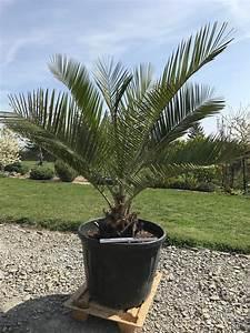 Palme Winterhart Kübel : mediterrane pflanzen jubaea chilensis honigpalme ~ Michelbontemps.com Haus und Dekorationen