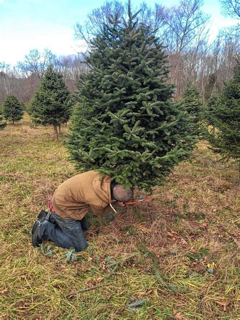 go try it cut down a christmas tree at rossview farm