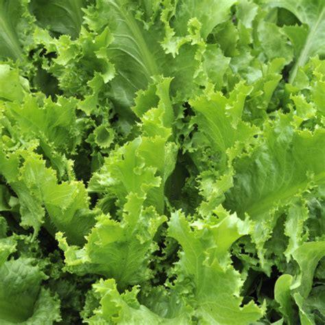 My Favorite Lettuce Varieties Looseleaf Lettuce