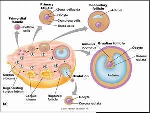 Image Result For Ovarian Cycle