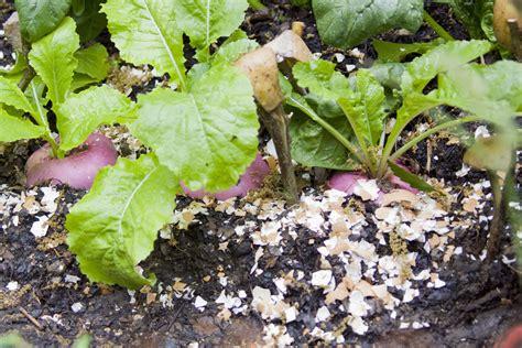 Eggshells In Garden by How Eggshells Can Improve Your Garden