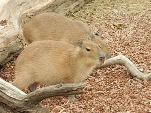 Picture 11 of 11 - Capybara (Hydrochoerus Hydrochaeris ...