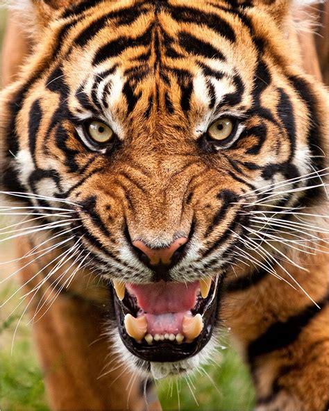 Pin Kukundra Tigr Bengal Tiger Animals