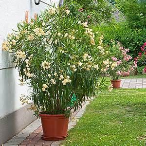 Kübel Bepflanzen Winterhart : oleander pflege standort schneiden d ngen vermehren giftig ~ Michelbontemps.com Haus und Dekorationen