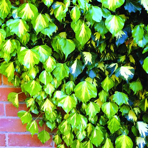 6 Easy Climbing Plants